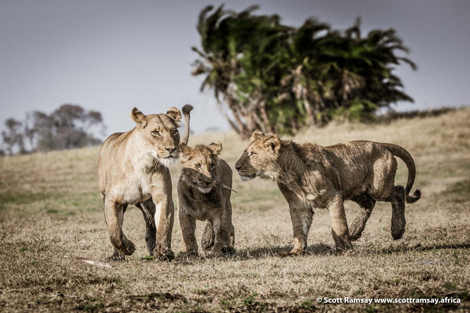 Lioness and Cubs Busanga Plains Kafue Zambia