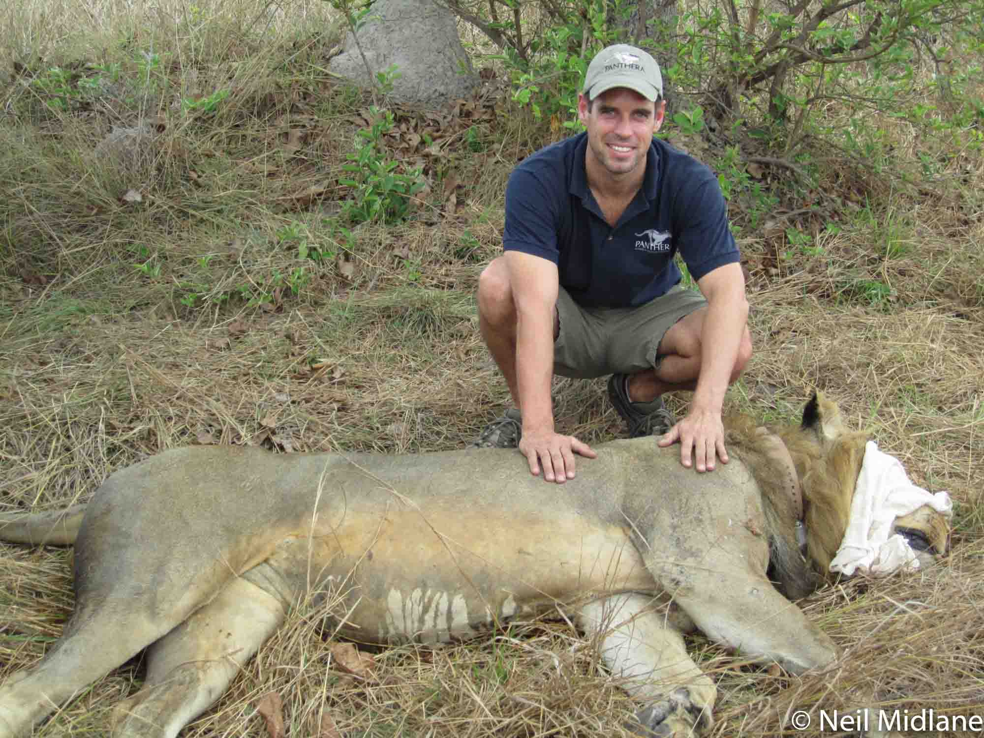Neil Midlane Lion Research Kafue Zambia