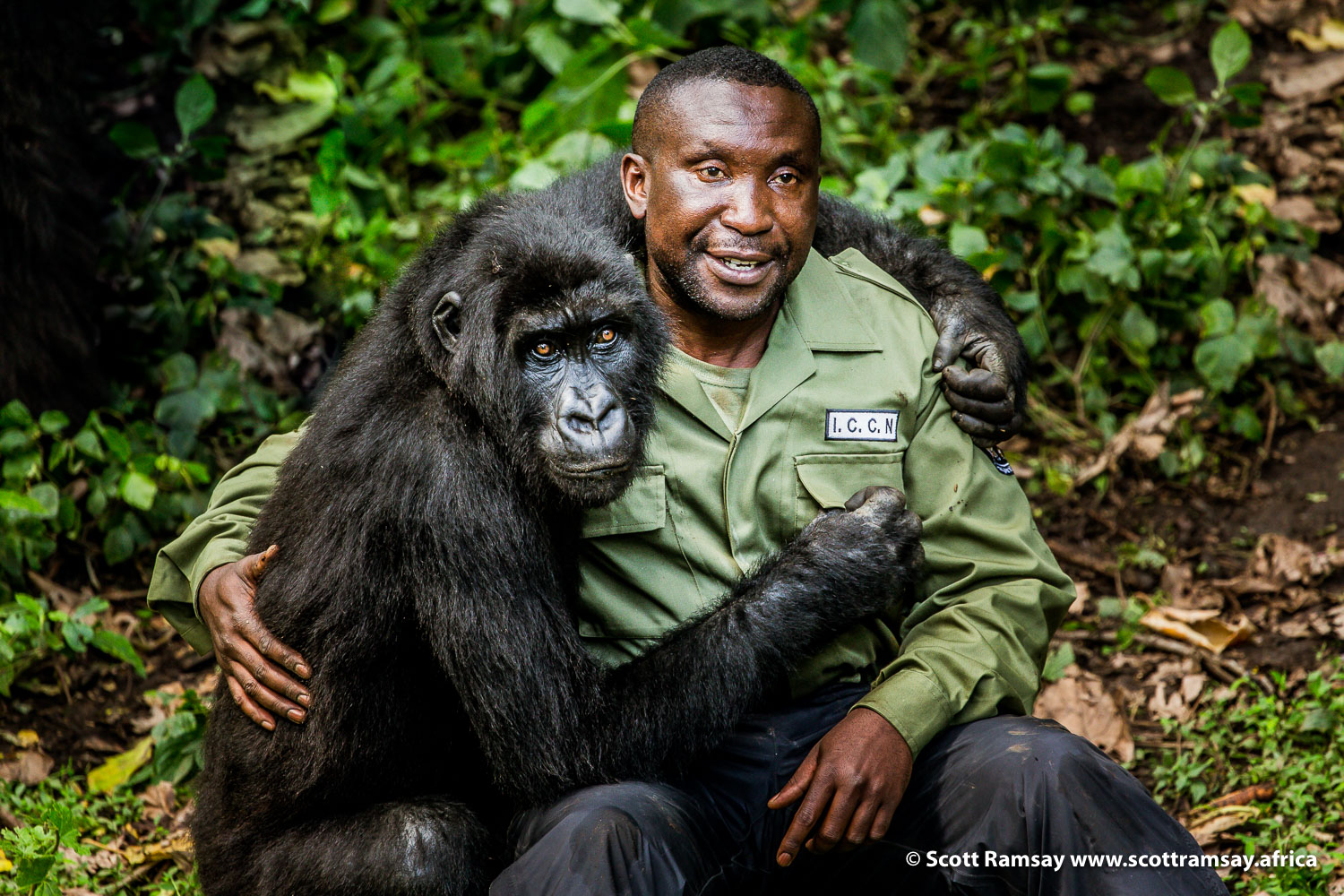 Andre Bauma and orphaned gorilla at Virunga's Senkwekwe Gorilla Sanctuary, where Andre and fellow rangers look after gorillas whose families have been murdered by poachers or soldiers.