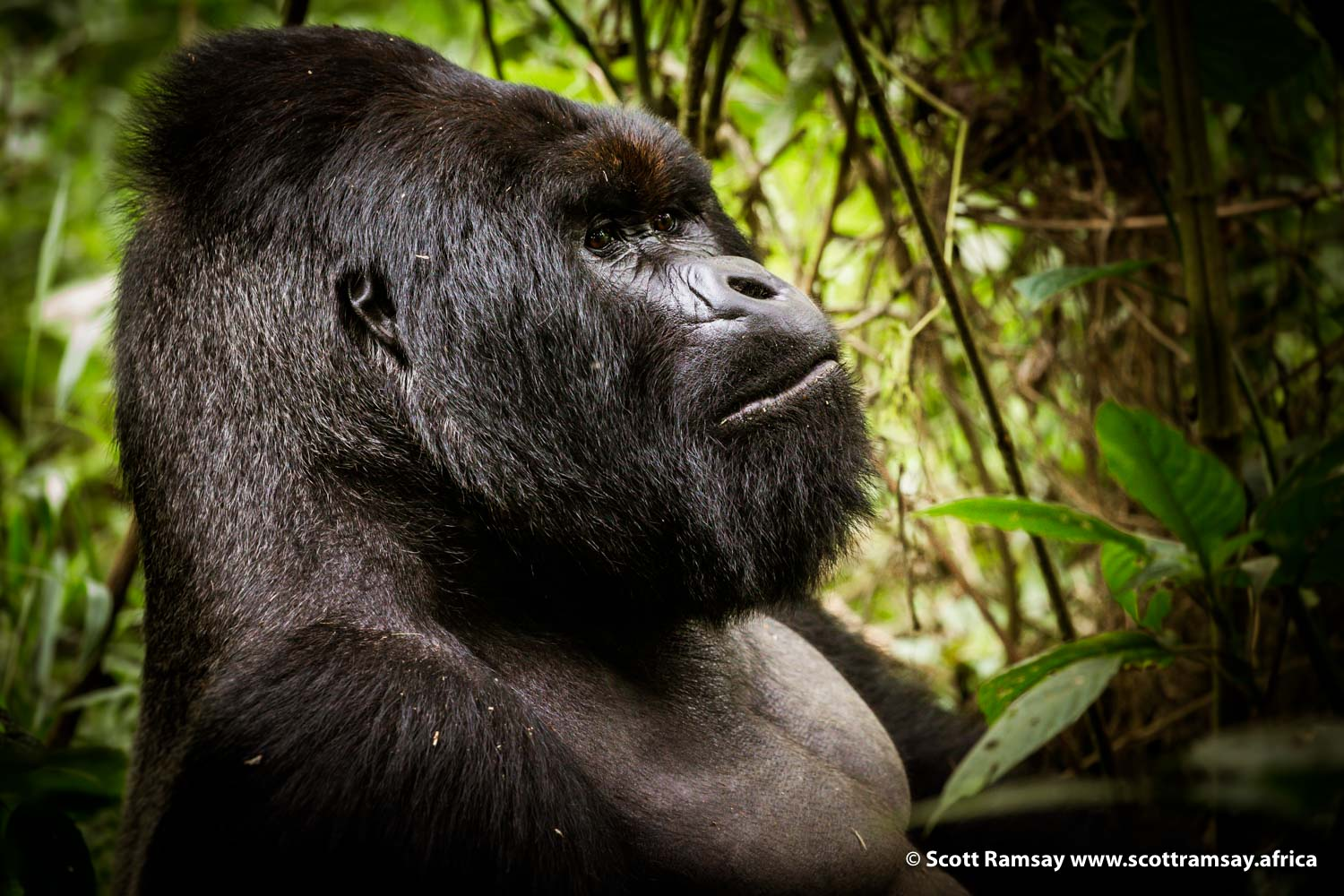 Mountain Gorilla Silverback Virunga