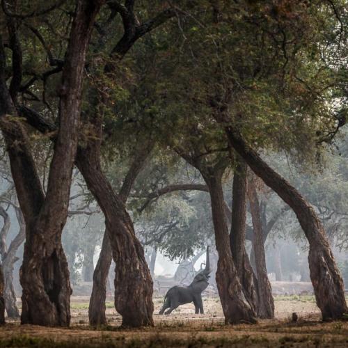 Savannah Elephant, Mana Pools National Park, Zimbabwe