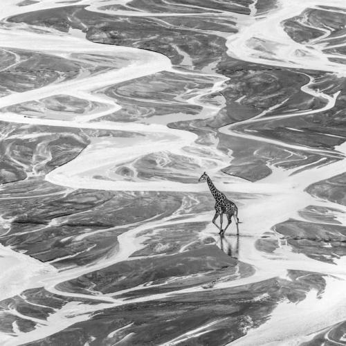 Giraffe, Imfolozi Game Reserve, South Africa