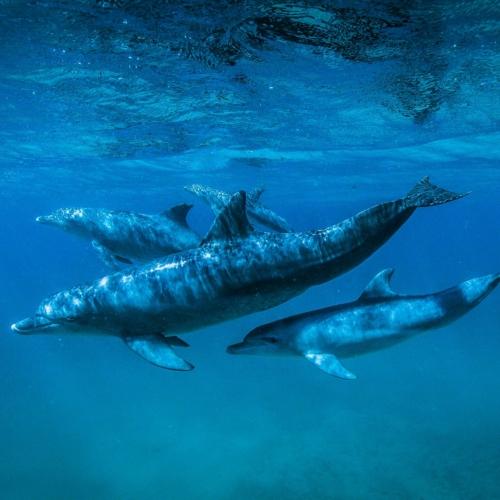 Bottlenose Dolphins, Quirimbas, Mozambique