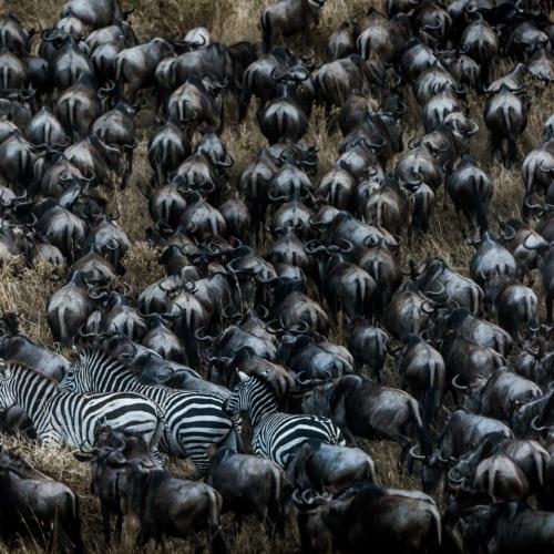 Zebra and wildebeest migration, Maasai Mara National Reserve, Kenya