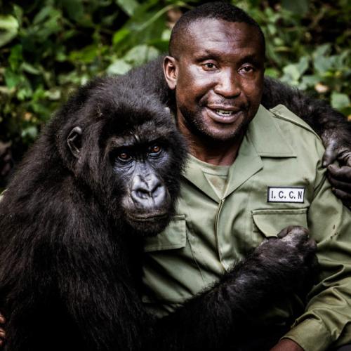 Andre Bauma and orphaned mountain gorilla, Senkwekwe Centre, Virunga National Park, DRC