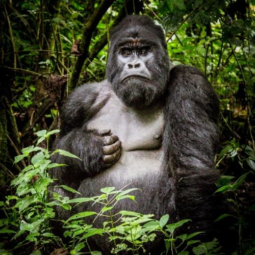 Mountain gorilla silverback, Virunga National Park, DRC
