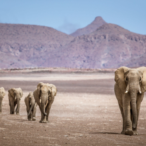 Desert-adapted savannah elephants, Purros, Namibia