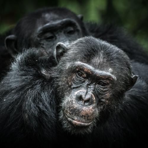 Chimpanzees, Mahale Mountains National Park, Tanzania