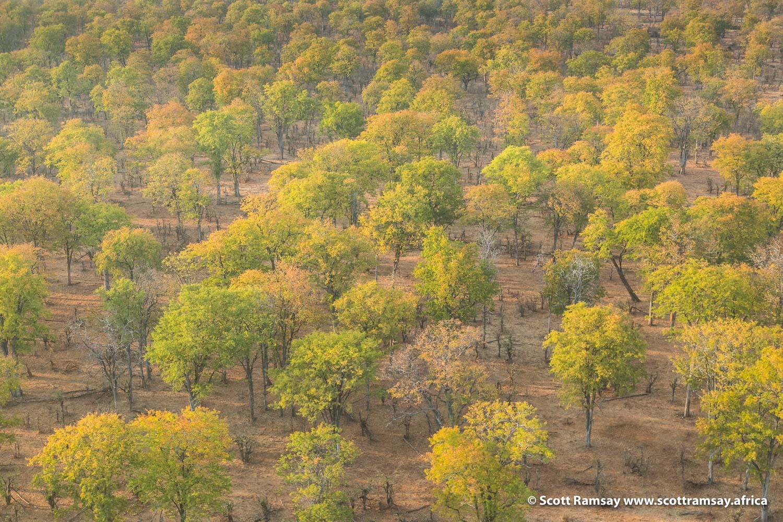 Mopane Woodlands Gonarezhou National Park in Zimbabwe