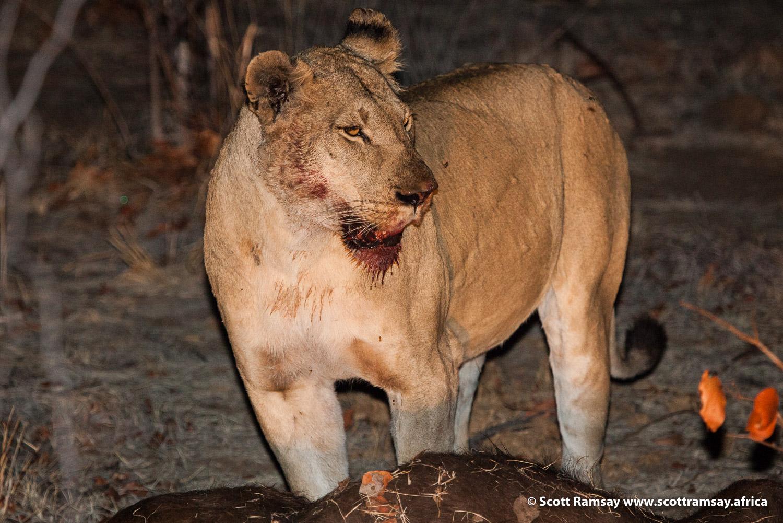 Lioness Gonarezhou National Park in Zimbabwe