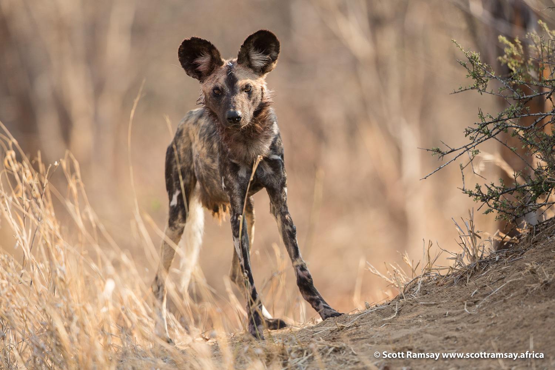 Wild dog Gonarezhou National Park in Zimbabwe