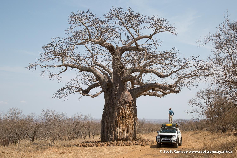 Baobab Tree Gonarezhou National Park in Zimbabwe