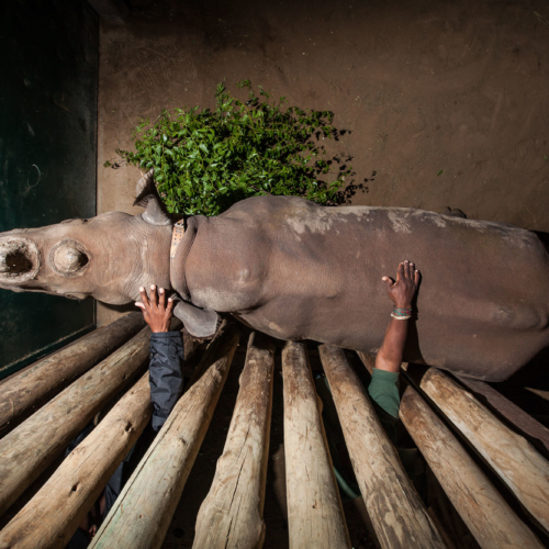 Rangers reach through barricades of a boma to provide companionship to a young black rhino in Imfolozi, South Africa. The rhino's mother was killed by poachers.