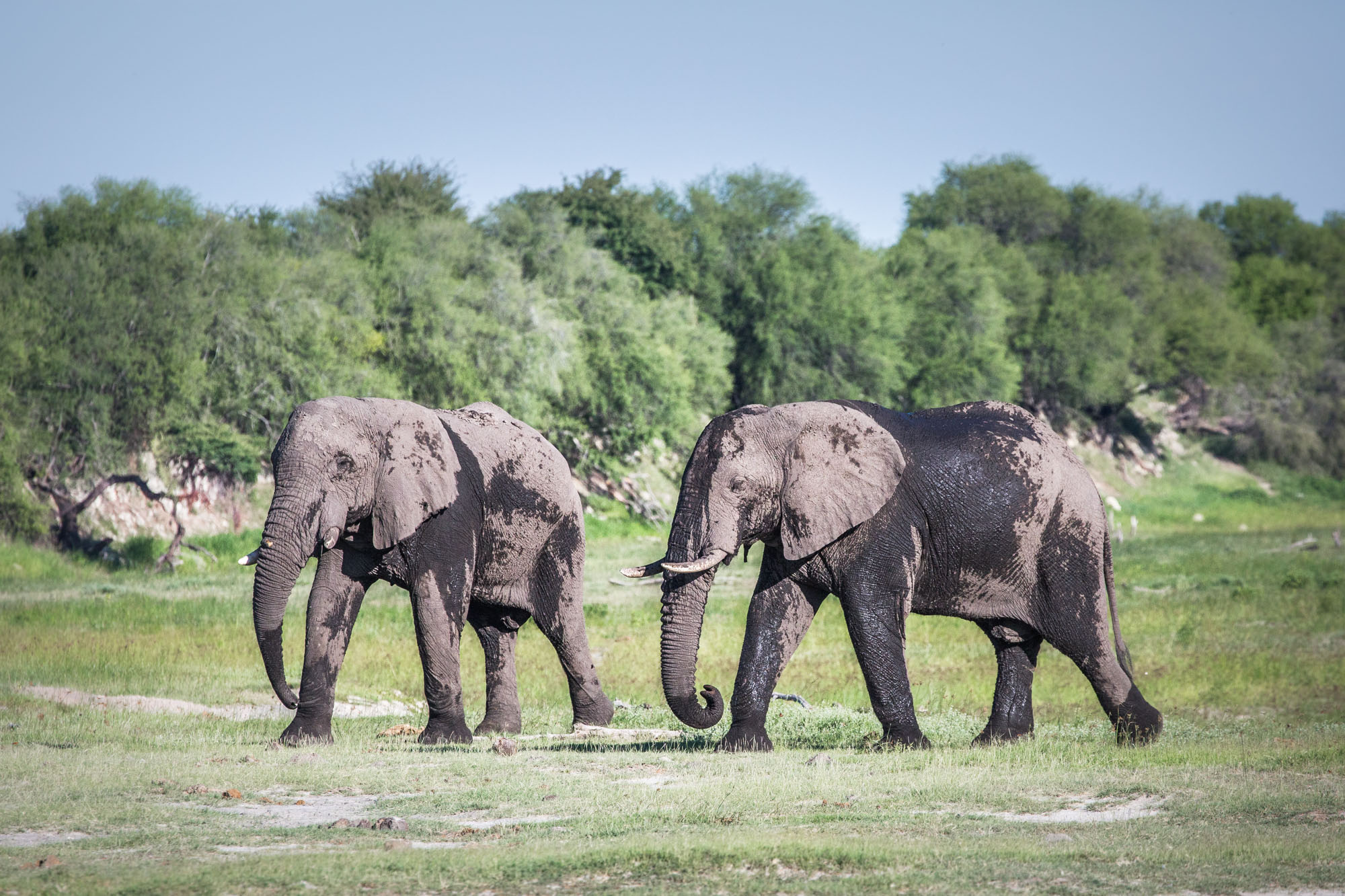 These two bull elephants were walking within a kilometre or two of Moreomaoto Village.