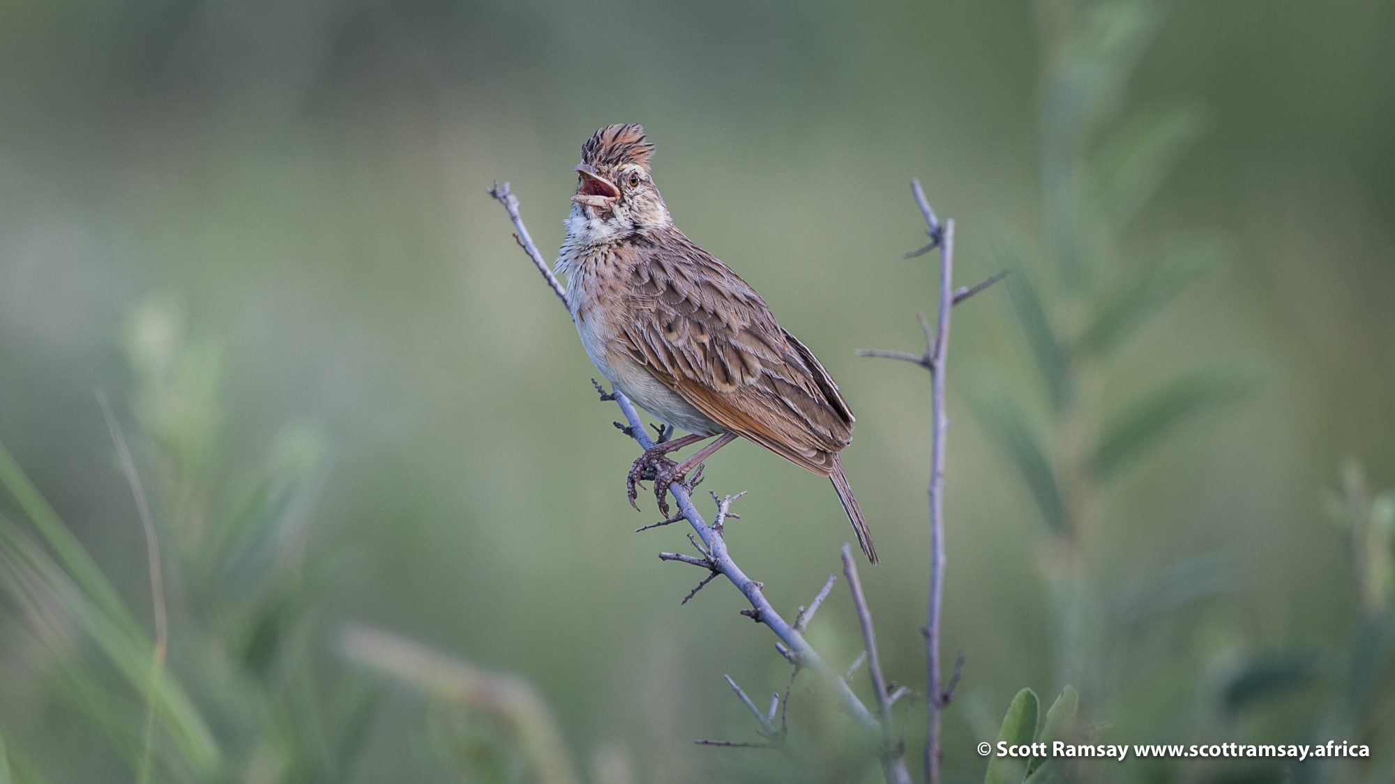 The rufuous-naped larks are the DJs on Radio Kalahari, always chirping, always got lots to say...but at least they sing beautifully!