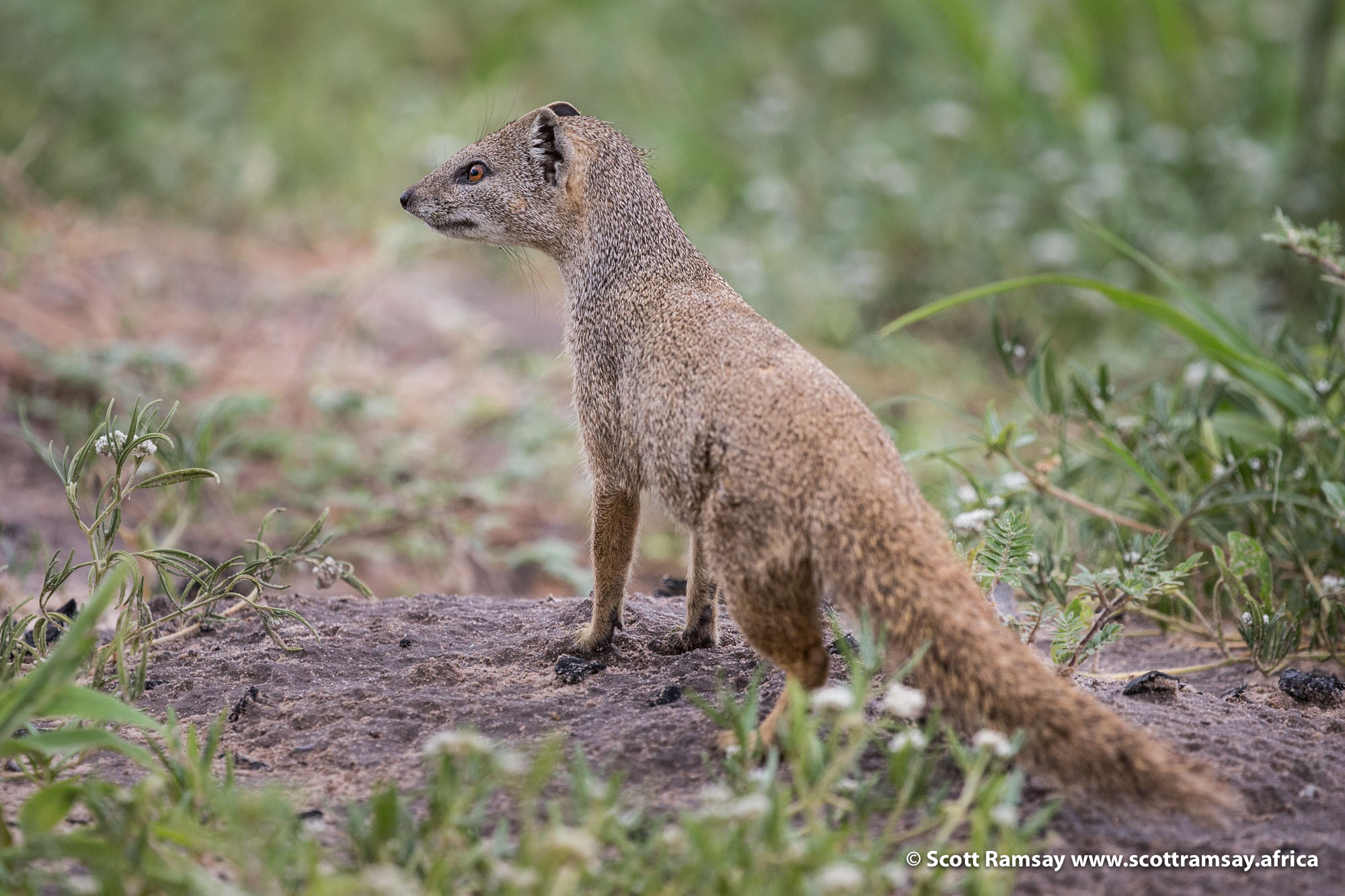 Sharing our campsite at Passarge Pan with this fella, a yellow mongoose. He was probably the alpha male in the colony, as he was actively scouting his territory and keeping watch constantly.