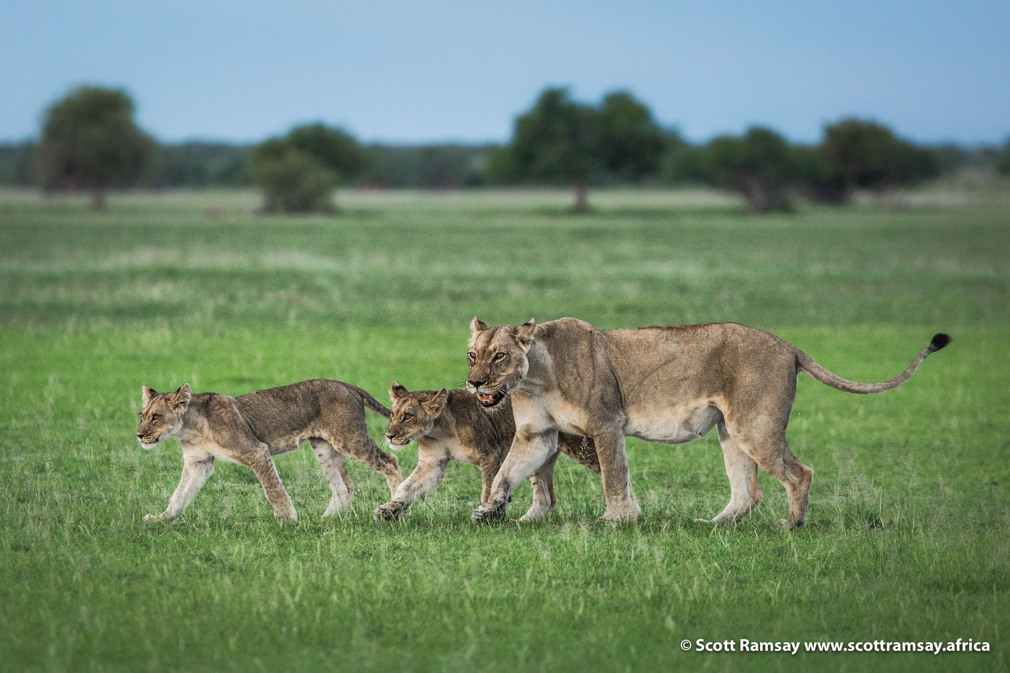 The Central Kalahari Game Reserve in Botswana is home to between 150 and 300 lions, some of the last free-roaming wild lions in Africa (there are no more than 20 000 left on the continent). The 52 000 square kilometre reserve is still largely inaccessible, undeveloped and free of mass tourism or fancy lodges. It's a place where one can still camp alone without any humans for 100 kilometres in any direction. Long may it remain so.