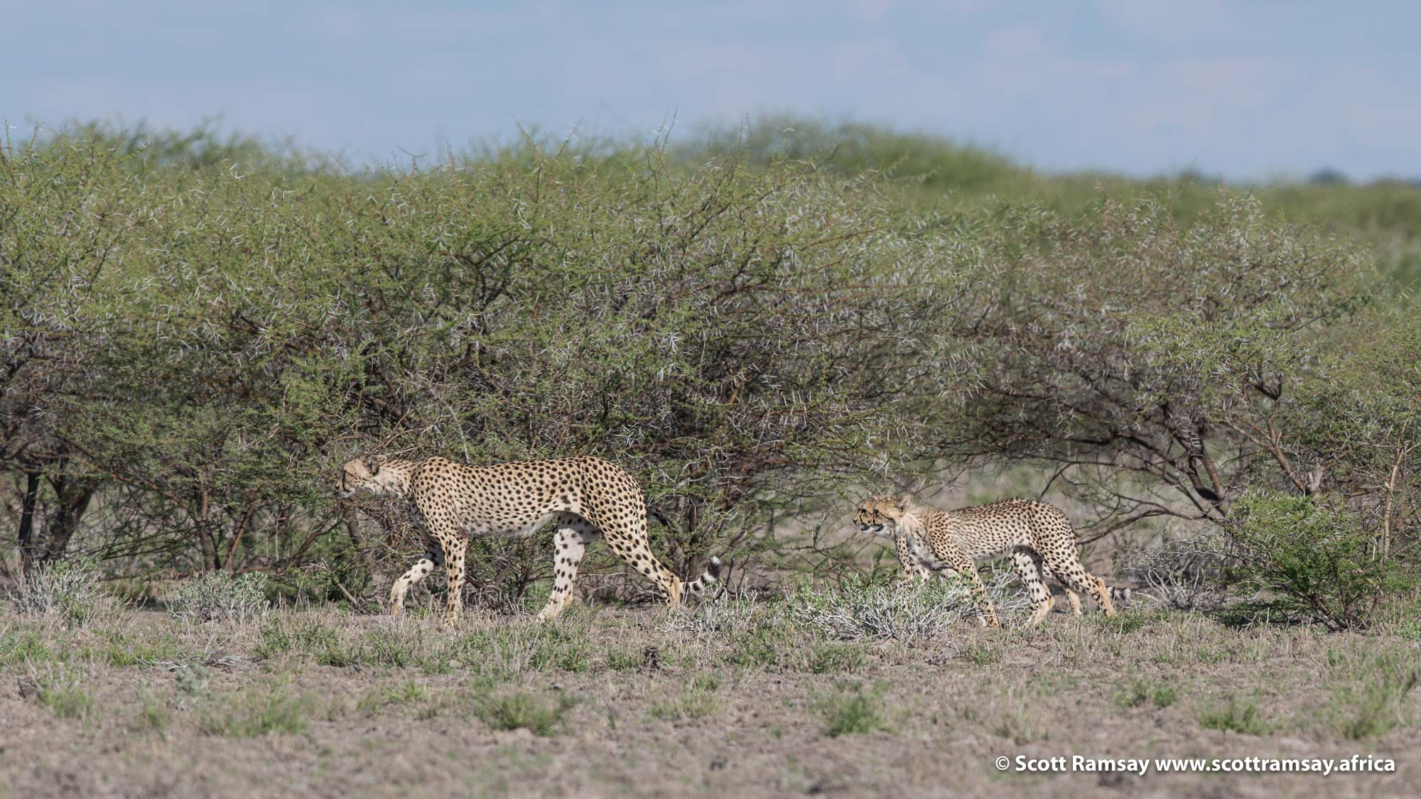 Later in the day, when the mist had cleared and the intense heat had returned, we spotted this cheetah mother and her two sub-adult cubs hunting on the edge of Deception Pan, using the acacia thicket as cover.