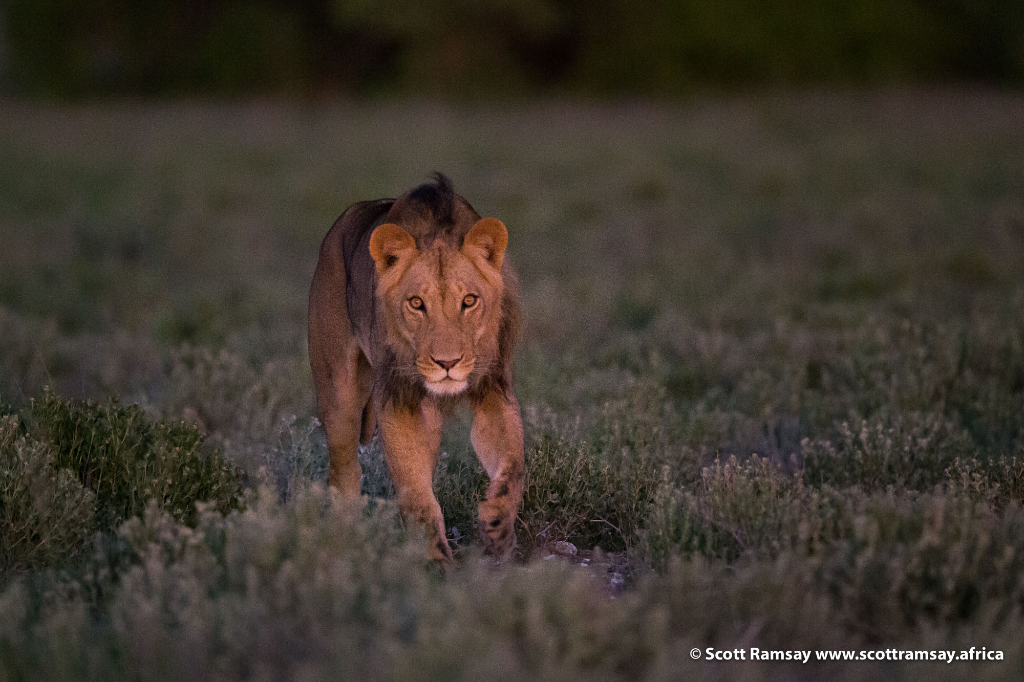 Next thing we see, as the sun is rising, a young male lion walking towards us out of the grasslands...oh hello, sir!
