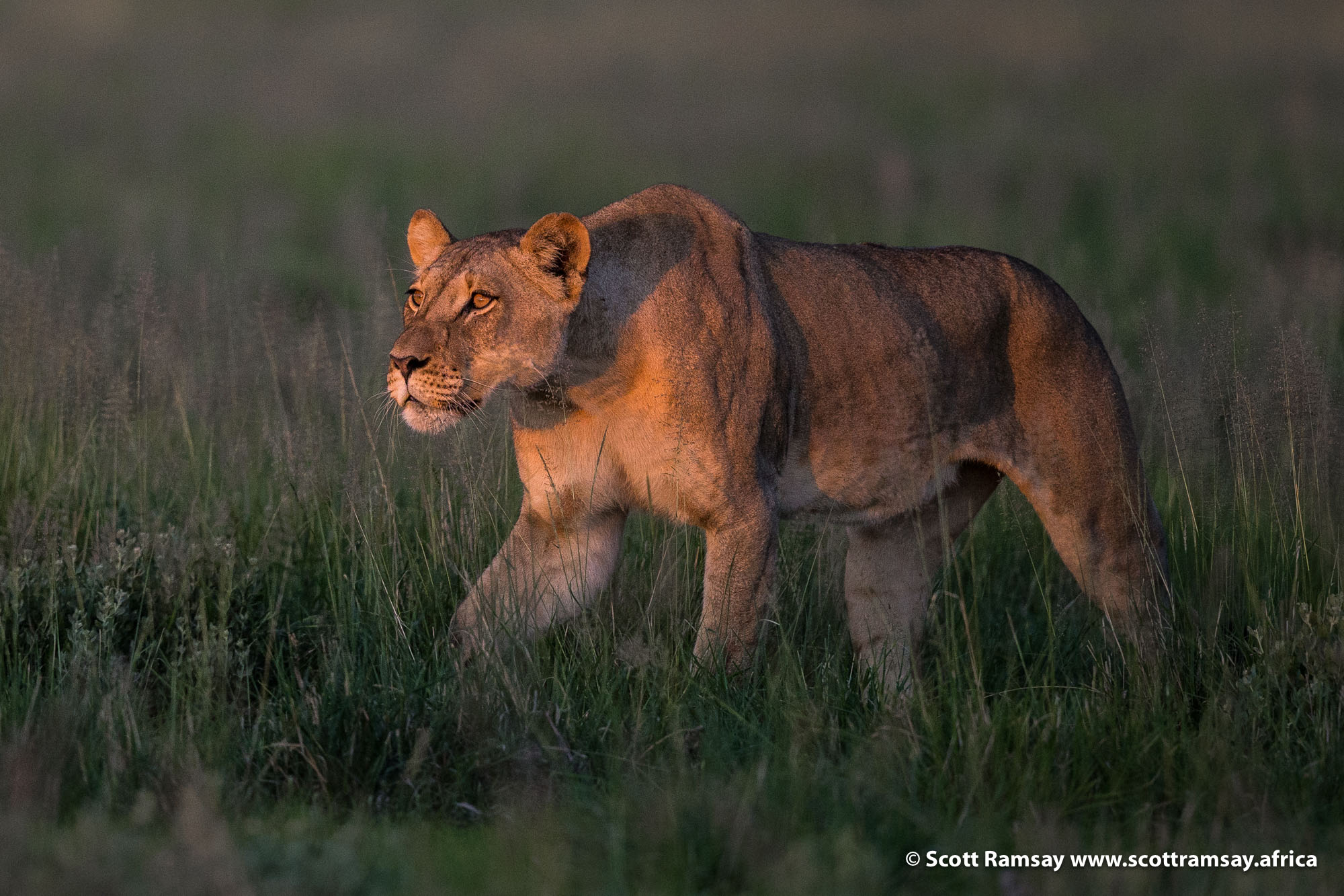 And a very beautiful, solid-looking lioness is just behind him! What a beauty...