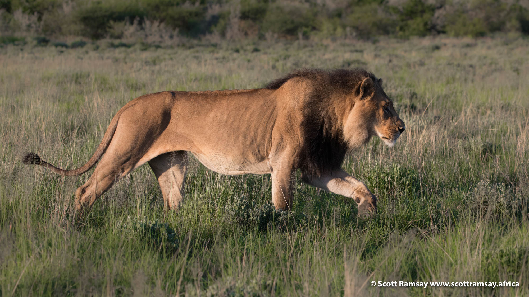And soon after, as the sun is up, another male comes sauntering up behind us! He had come from the direction of our campsite, and no doubt had spent the night nearby. He headed straight for the young male and the lioness...something was about to happen.