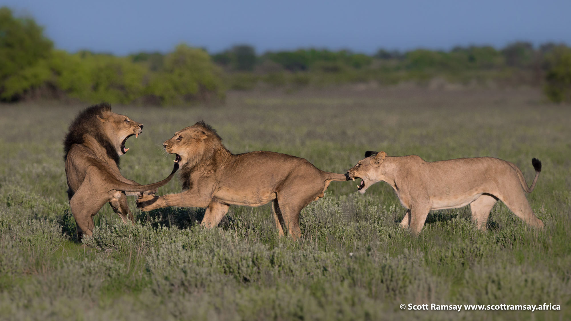 Hey! What you want here!? The lions clash, but it's a brief territorial skirmish, nothing more than some moody behaviour. Perhaps the bigger male once held the territory, but lost it to the younger male, and the lion politics were still being sorted out.