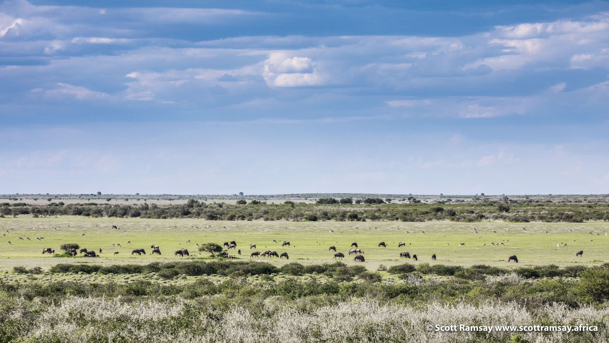 Blue wildebeest and zebra on Piper's Pan, mid-morning. Once numbering in their millions (only about 40 years ago), both species used to migrate across Botswana, following the grazing and rains. But starting in the 1960s and 70s, when the government (at insistence by the European Union) built veterinary fences to separate cattle from wild animals, the wildebeest populations in particular were decimated in their hundreds of thousands. Unable to find their way around the fences, thousands were trapped against the wires, unable to find grazing or water. Today most wildebeest are sedentary, meaning they don't migrate, and have to rely on much smaller areas for grazing and water (and consequently, aren't able to breed as successfully, due to limited resources).