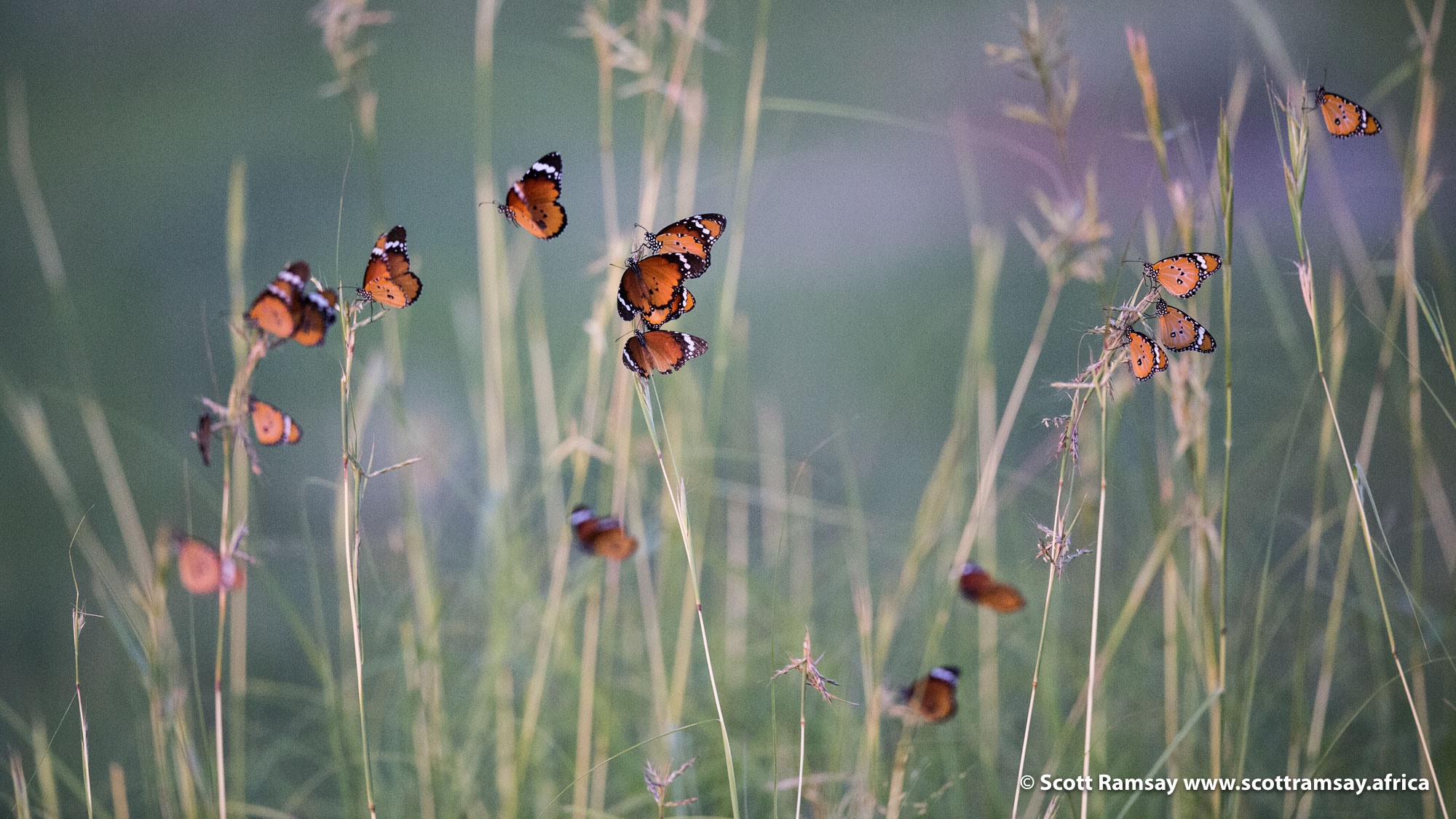 These are African Monarch butterflies (Danaus chrysippus aegypticus), getting ready to roost on some grass stems for the night.