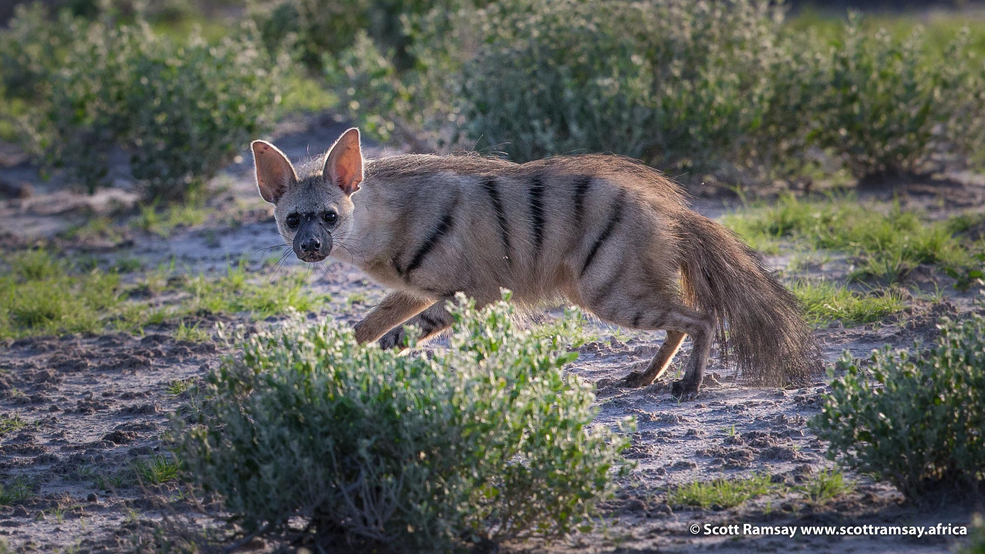 My first sighting ever of an aardwolf! And a very good one too. These are very shy, strictly nocturnal animals, so to see one in good light is very lucky. Early one morning at Piper's Pan, we saw a bat-eared fox pounding its legs on the ground, and we thought it was trying to chase a rodent out of it's burrow, but then this wonderful animal popped it's head up out of the hole, and the bat-eared fox (and several others) chased it away! Poor aardwolf...