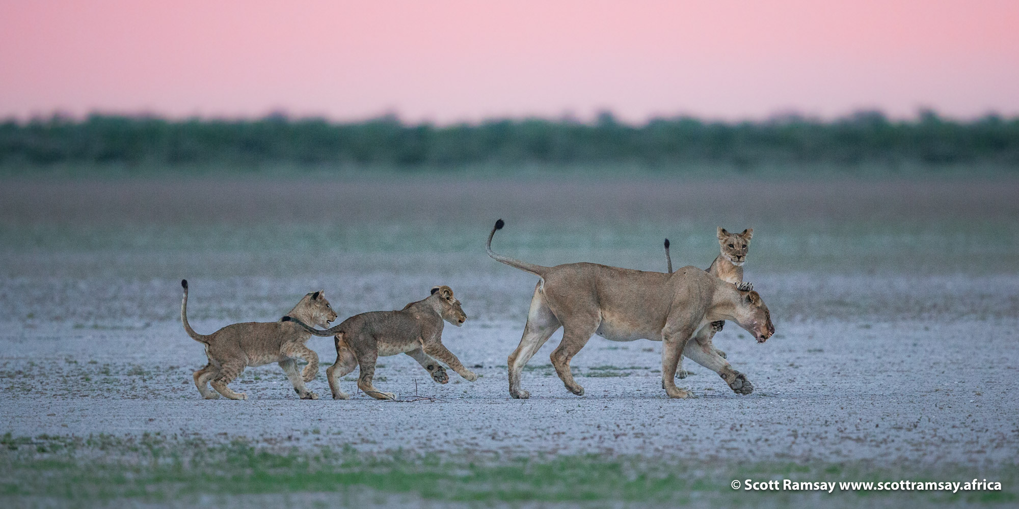 We found the lioness, with cubs, a few kilometres away...perhaps she had been trying to keep the male away from the cubs?