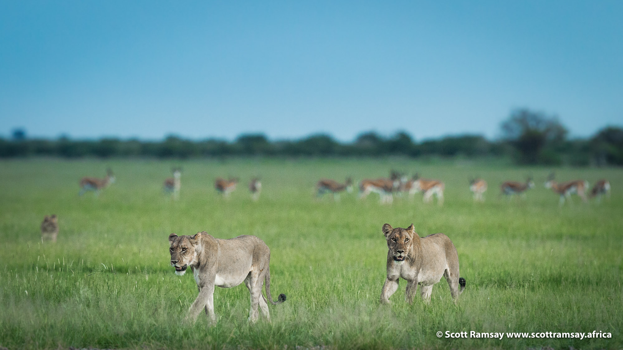 Two more lionesses came to join mom and kids...
