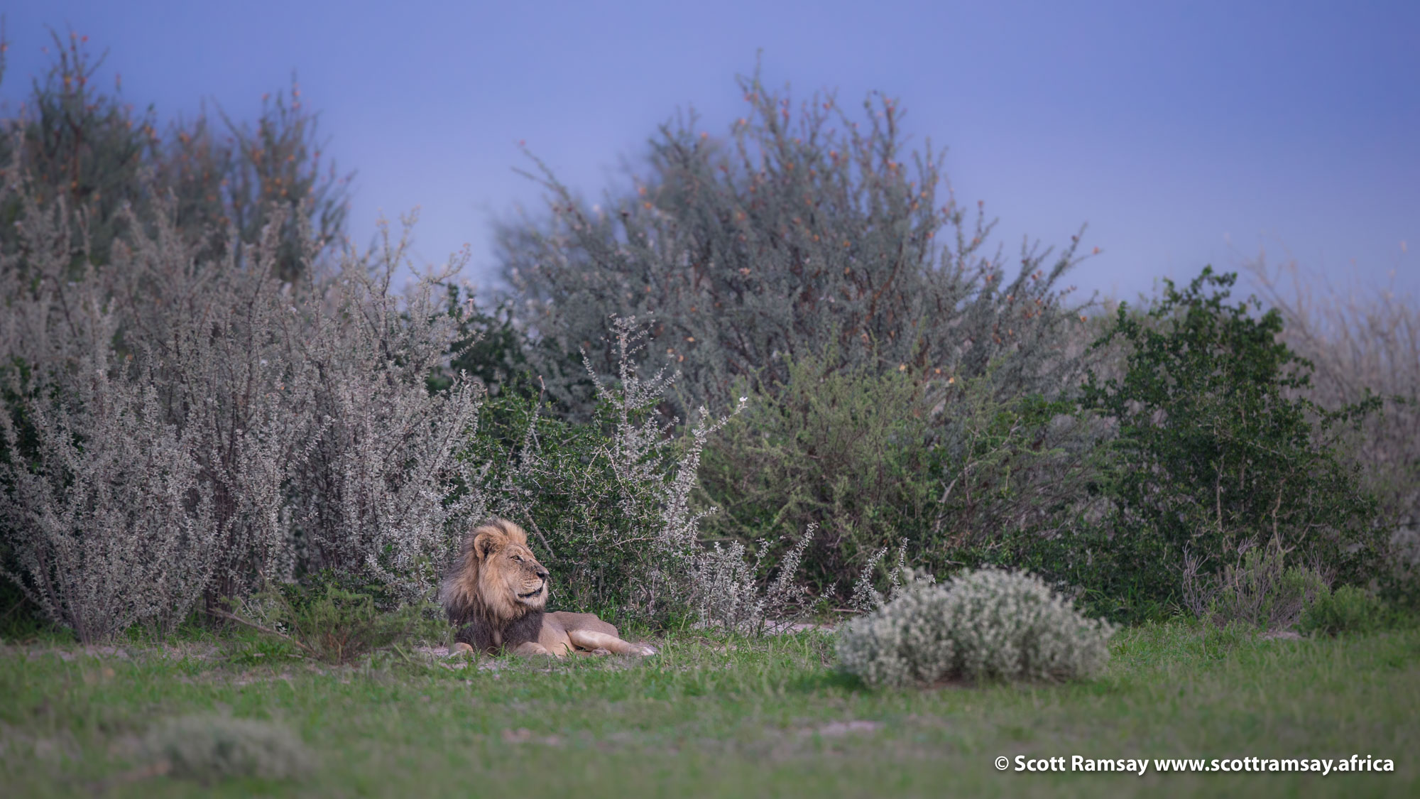 Our big male lion, still alone, still looking for his females...we spotted him on our last morning at Piper's Pan. Because the sun hadn't risen yet, the light was wonderfully soft. You've got about about twenty minutes before sunrise and ten minutes after sunset to get your soft-light shots...