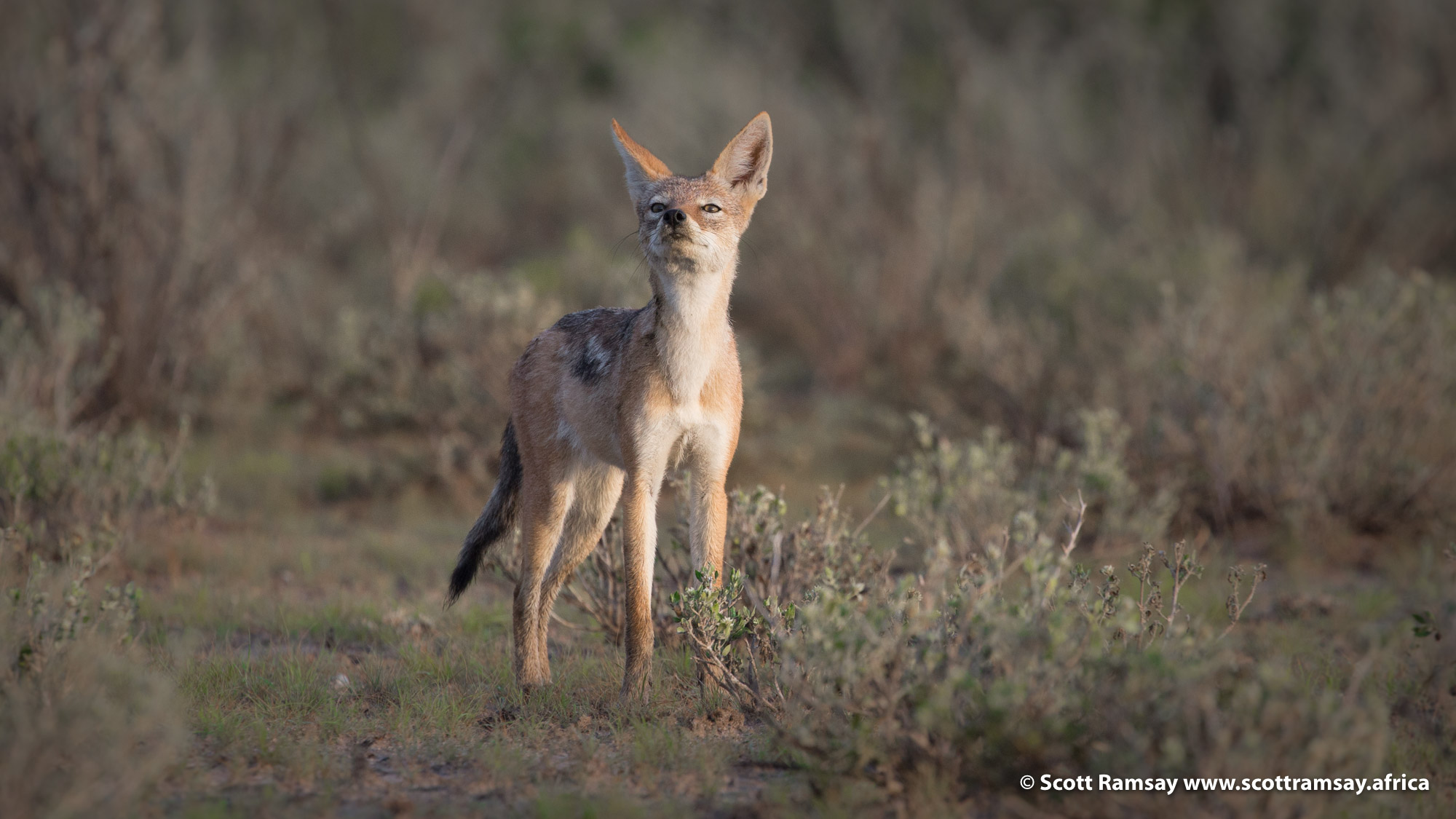 Black-backed jackals are another denizen of the semi-arid Kalahari. Their evocative howling at dawn and dusk is the soundtrack to this immense wilderness. This species will forever be branded into my heart because of the book Cry of the Kalahari, by Mark and Delia Owens, the best-written text on the Kalahari.