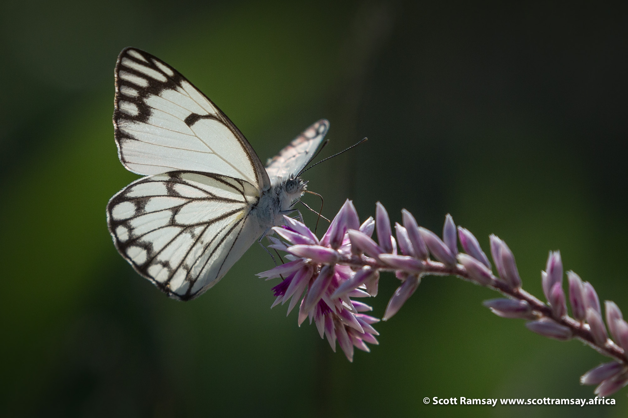 One more butterfly image...brown-veined white using it's proboscis to search for nectar in a cat's tail flower (Hermbstaedtia fleckii).