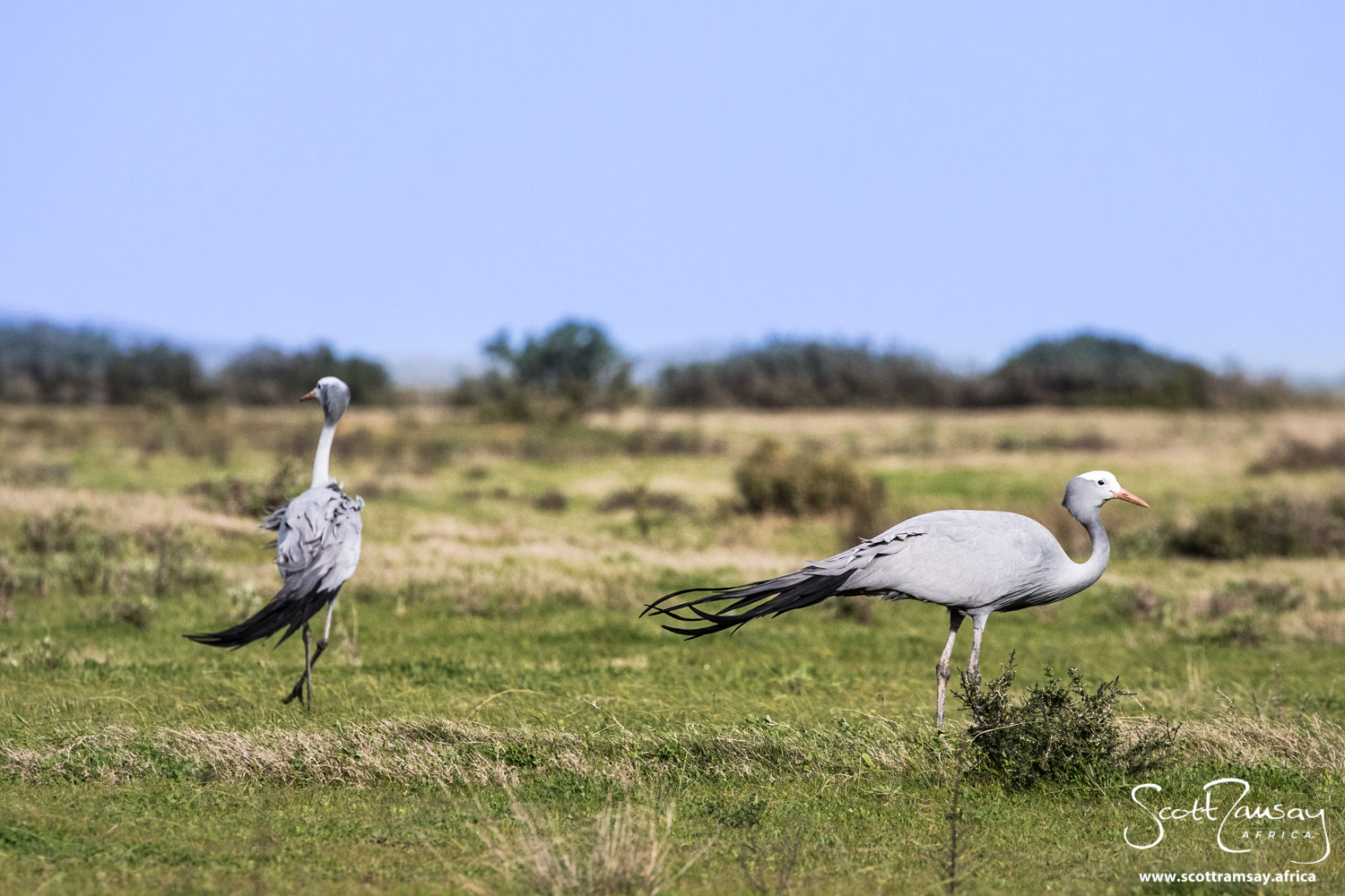 Blue cranes - South Africa's national bird - in the farm fields adjacent to the reserve
