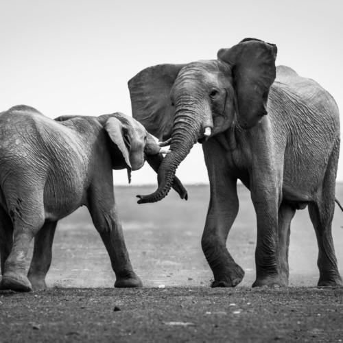 Desert-adapted elephants, Namib Desert, Namibia