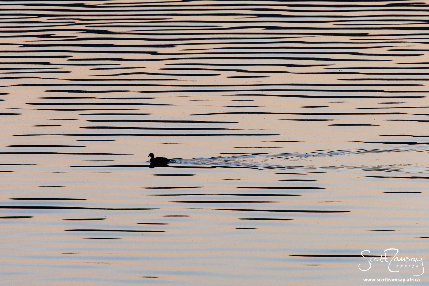 Early morning perfection. A red-knobbed coot cruising on Groenvlei