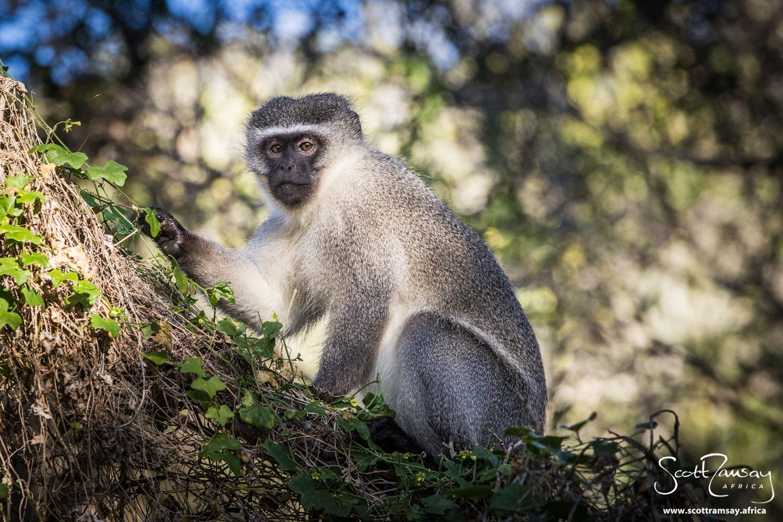 Vervet monkey in the milkwood forest on the edge of Groenvlei