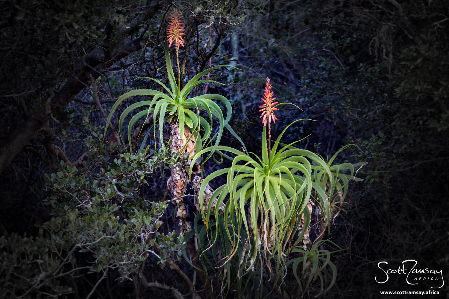 Flowering aloes on the slopes of the gorge...the wet winters call forth a riot of colour in the fynbos plant kingdom.