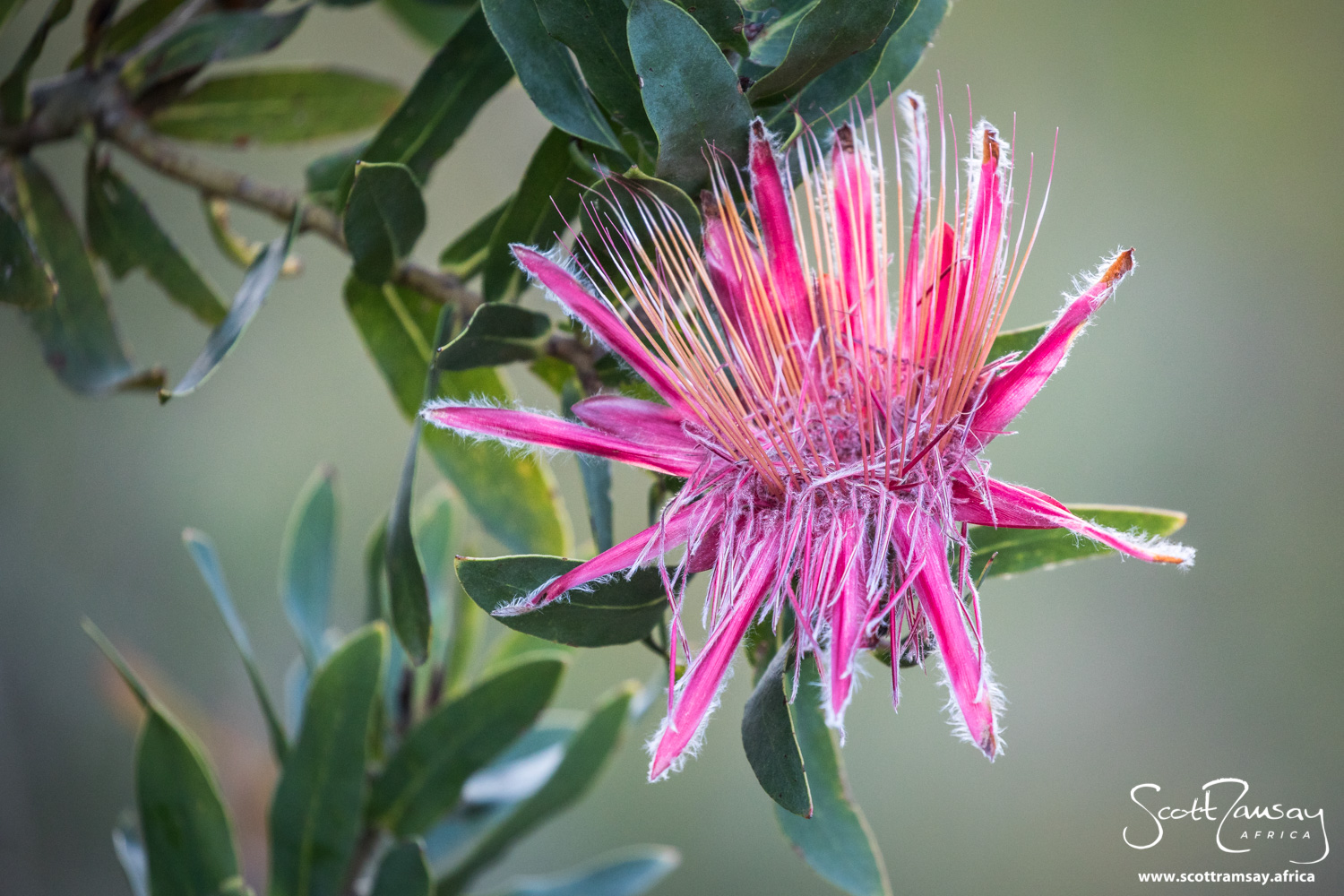 Protea species, an impossible hue of crimson and pink.