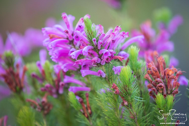 Flowering ericas. The fynbos in winter was looking gorgeous.