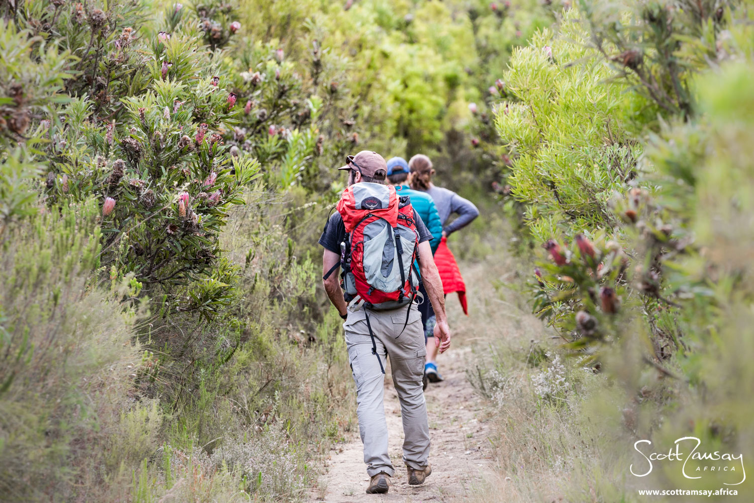 In places, the fynbos in Marloth is twice the height of a person.