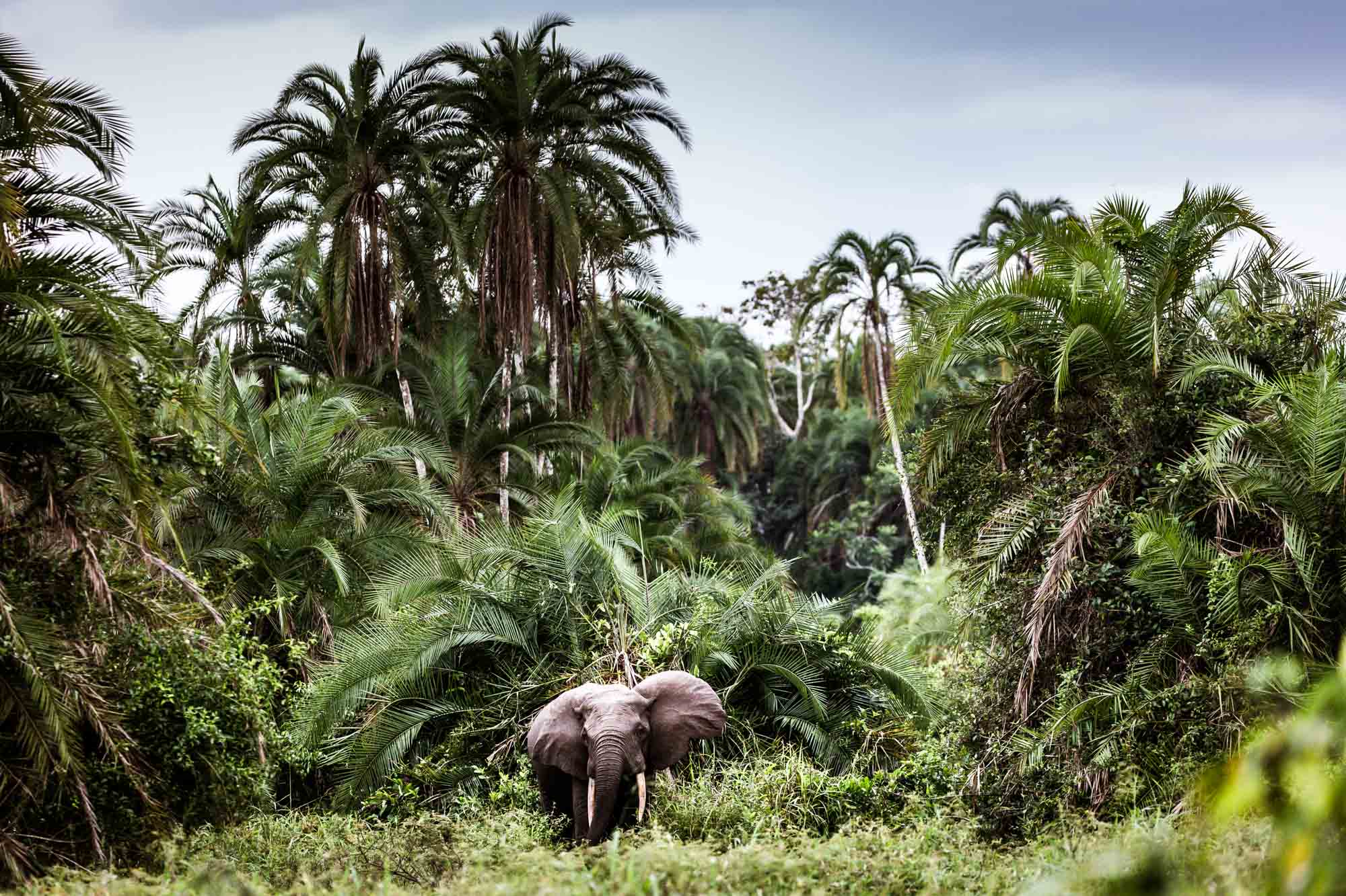 A forest elephant browsing in Odzala-Kokoua National Park in Republic of Congo