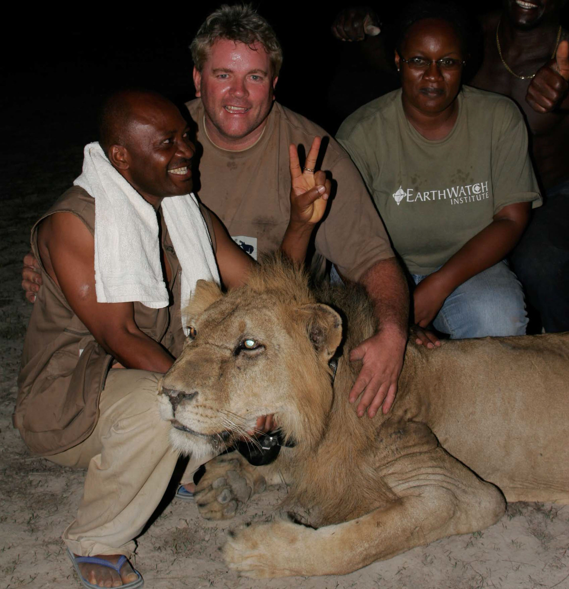 Paun Funston and local lion researchers, fitting a collar to tranquilised lion in Benin.