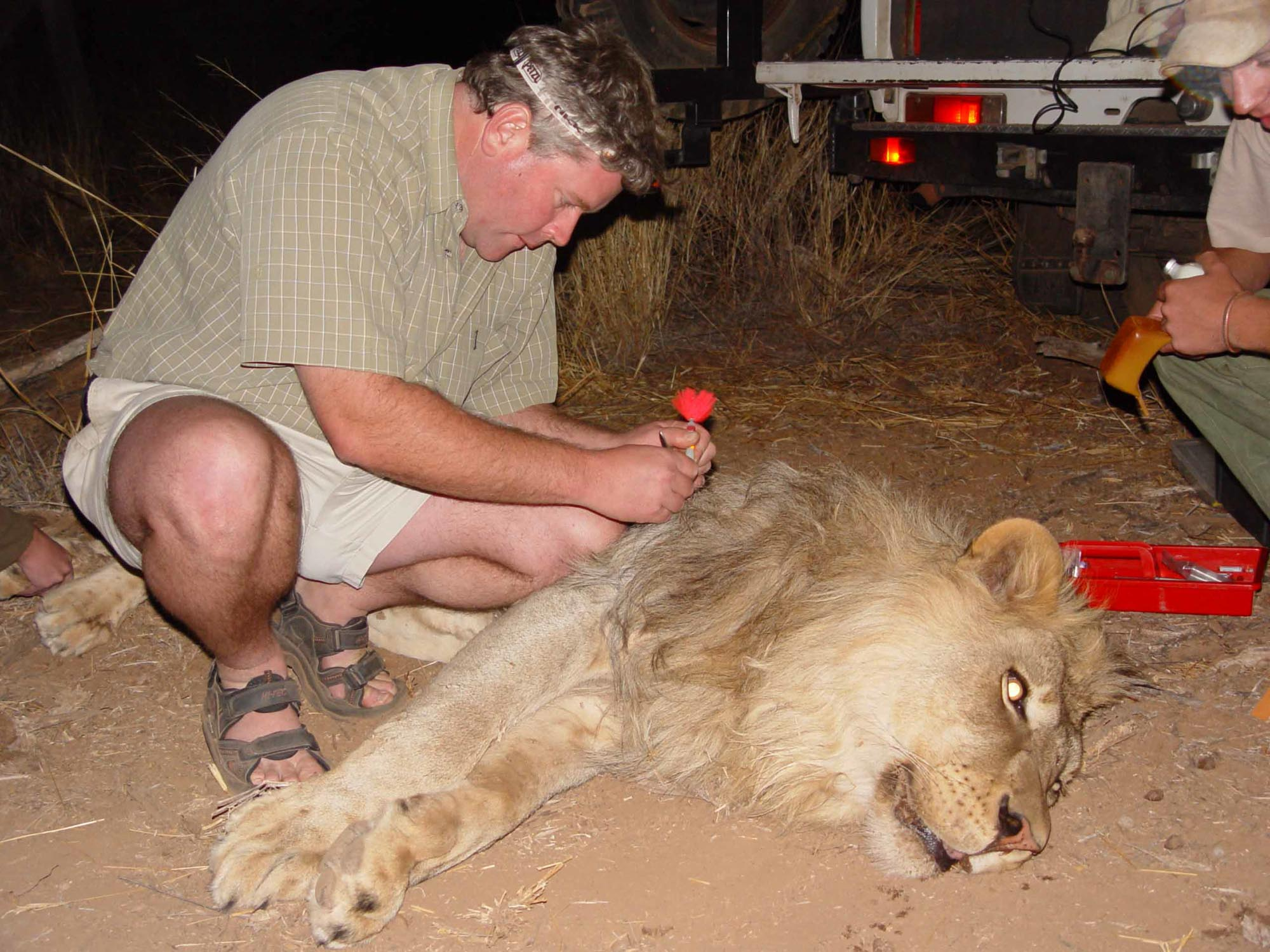 Paul Funston and lion which has been tranquilized so that researchers can fit a tracking collar, in South Africa's Limpopo Province.